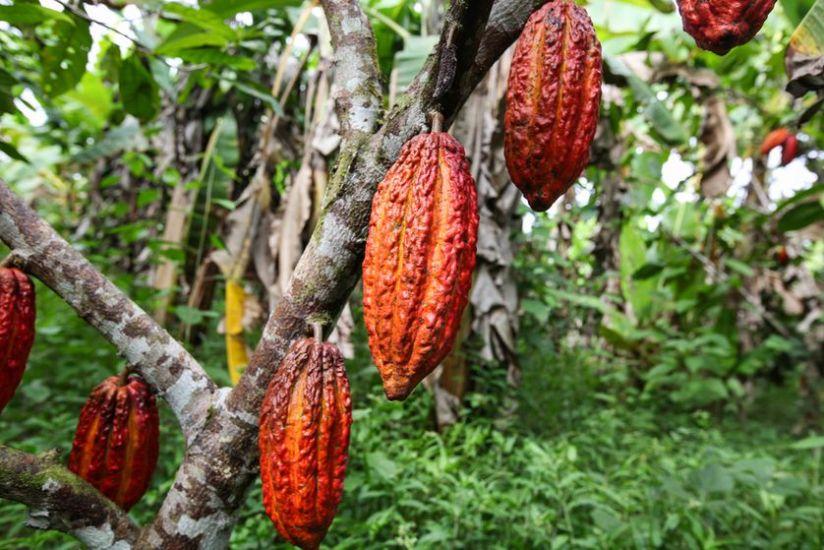 cocoa-tree.jpg.838x0_q80