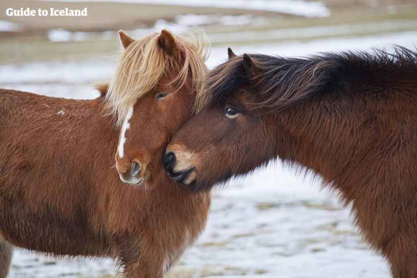 the-icelandic-horse-a-comprehensive-guide-2